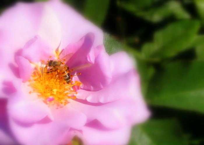Lavendar Rose Greeting Card featuring the photograph Lavendar Rose With Bee by Jacqueline Russell