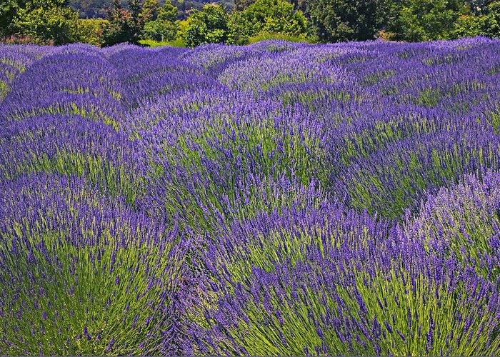 Lavender Greeting Card featuring the photograph Lavender Field by Garry Gay