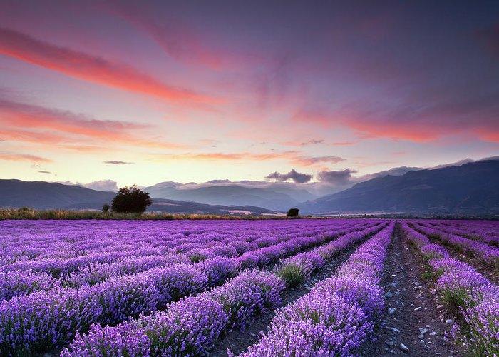 Dusk Greeting Card featuring the photograph Lavender Season by Evgeni Dinev