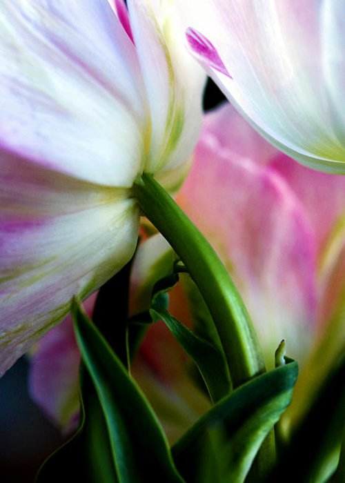 Flower Greeting Card featuring the photograph Layers Of Tulips by Marilyn Hunt