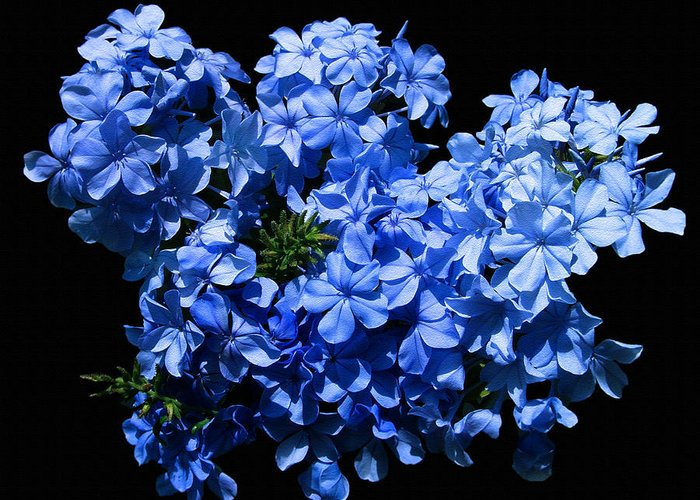 Flower Photography Greeting Card featuring the photograph Lazy Blue Dazes by Evelyn Patrick