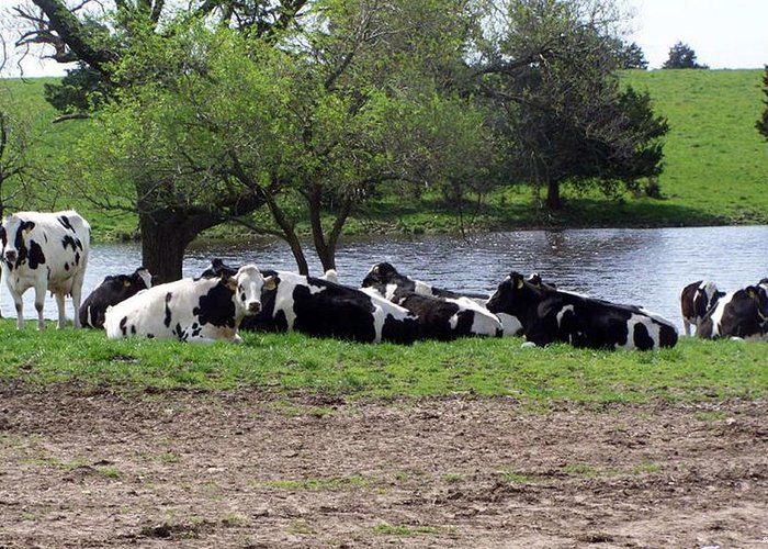 Cows Greeting Card featuring the photograph Lazy Cows by Evelyn Patrick