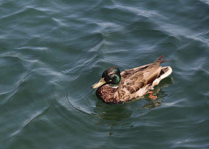 Duck Greeting Card featuring the photograph Lazy Day by Mary Bedy