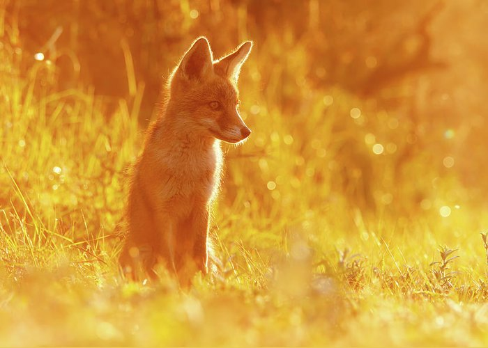 Fox Greeting Card featuring the photograph Le P'tit R'nard II by Roeselien Raimond