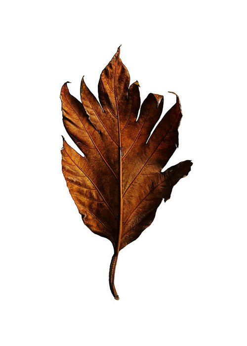 Leaf Greeting Card featuring the photograph Leaf 0787 by Pang Saw Wee