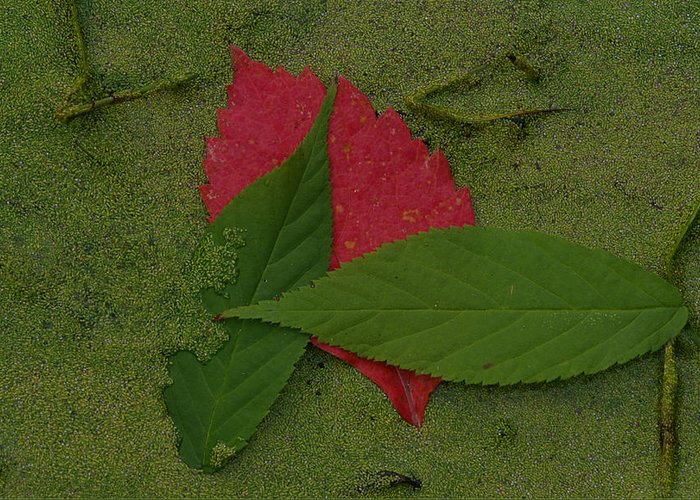 Leave Greeting Card featuring the photograph Leaf In The Swamp by Andreas Freund