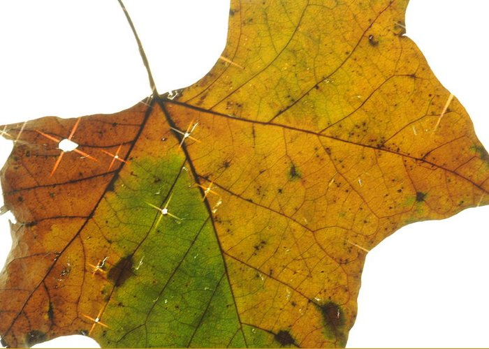 Leaf Greeting Card featuring the photograph Leaf Light by Jon Benson
