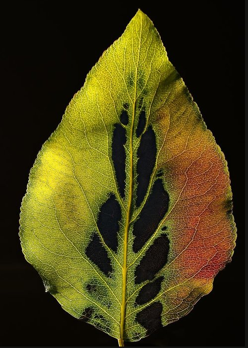 Leaf Greeting Card featuring the photograph Leaf Still Life by Robert Ullmann