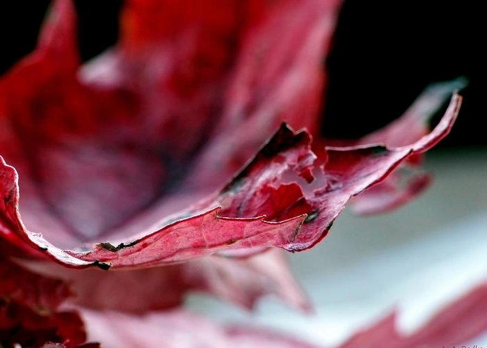Abstract Greeting Card featuring the photograph Leaf Study II by Lauren Radke