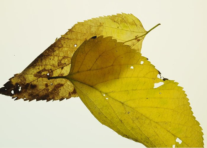Leaf Greeting Card featuring the photograph Leaf Symmetry by Jon Benson