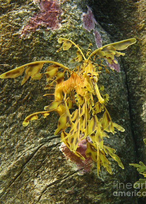 California Greeting Card featuring the photograph Leafy Sea Dragon Against Colorful Rocks by Max Allen