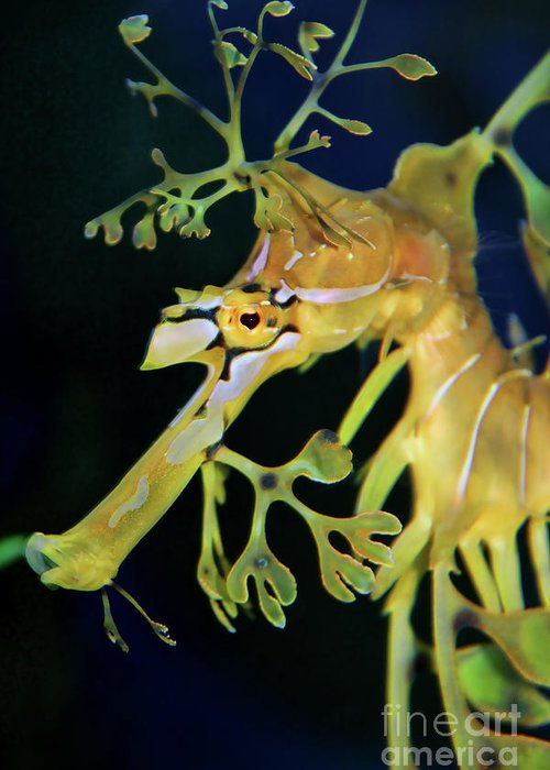 Leafy Sea Dragon Greeting Card featuring the photograph Leafy Sea Dragon by Mariola Bitner