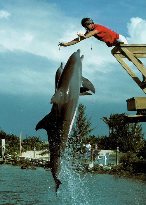 Dolphin Training Trainer Hawks Cay Florida Keys Fl Greeting Card featuring the photograph Leaping Dolphins At Hawks Cay by Carl Purcell