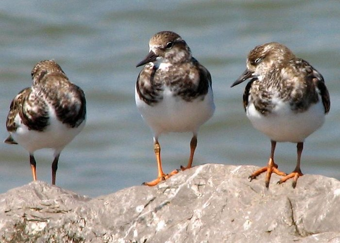 Least Sandpiper Greeting Card featuring the photograph Least Sandpipers by J M Farris Photography