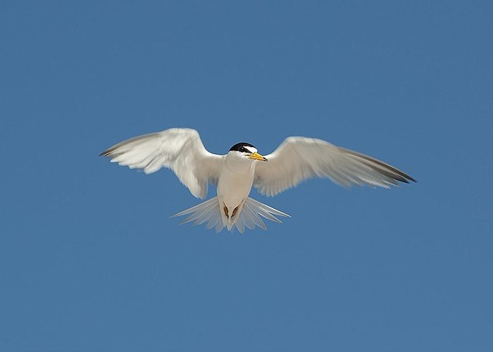 Bird Greeting Card featuring the photograph Least Tern 2 by Kenneth Albin