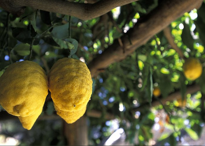 Lemons Greeting Card featuring the photograph Lemons Hanging From A Lemon Tree by Richard Nowitz