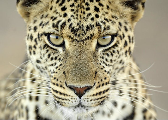 Fn Greeting Card featuring the photograph Leopard Panthera Pardus Female by Martin Van Lokven