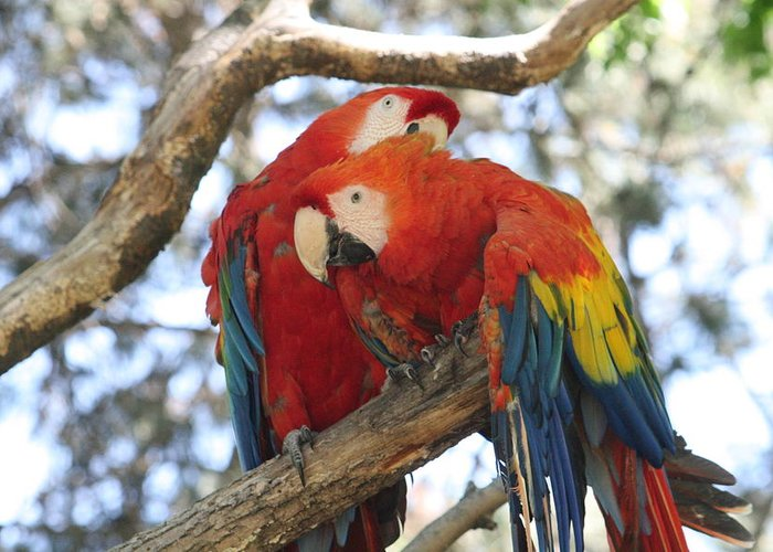 Couple Greeting Card featuring the photograph Let Me Get It - Scarlet Macaws by Lynn Michelle