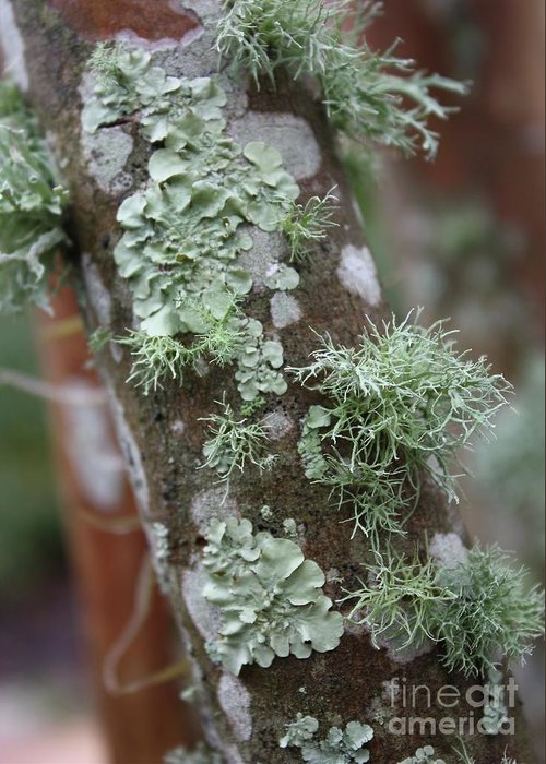 Nature Greeting Card featuring the photograph Lichens 4 by Carol Groenen