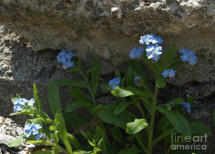 Forget-me-nots Greeting Card featuring the photograph Life Will Prevail by Anna Lisa Yoder