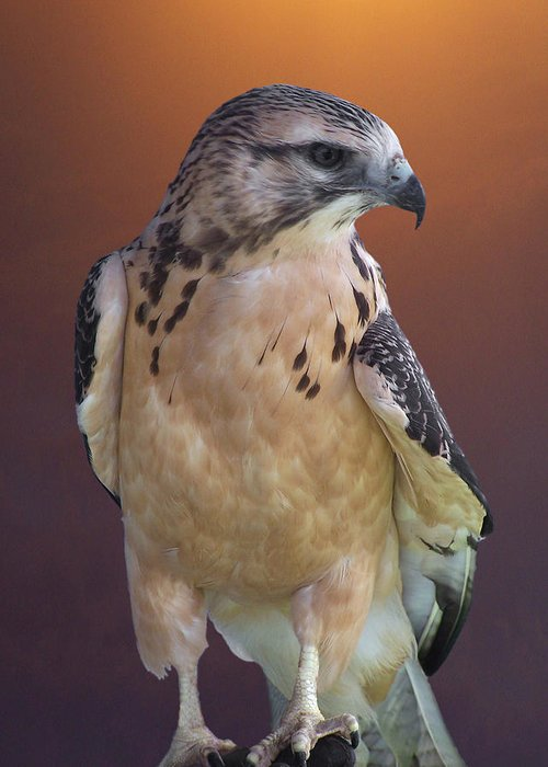 Light-morph Immature Swainson's Hawk Greeting Card featuring the photograph Light Morph Immature Swainsons Hawk by Ernie Echols