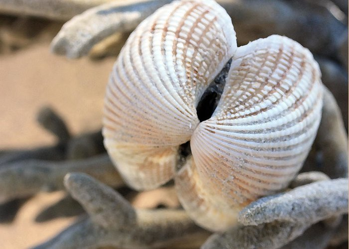Shells Greeting Card featuring the photograph Like Angel Wings by Mary Haber