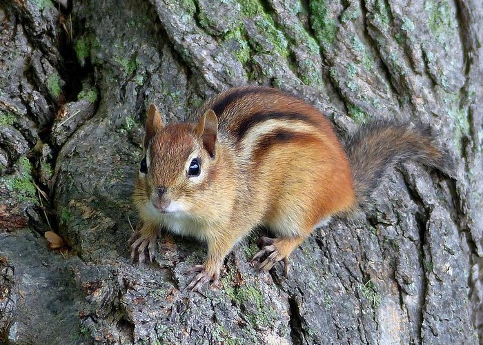 Outdoors Greeting Card featuring the photograph Lil Chipmunk by Charles Ford