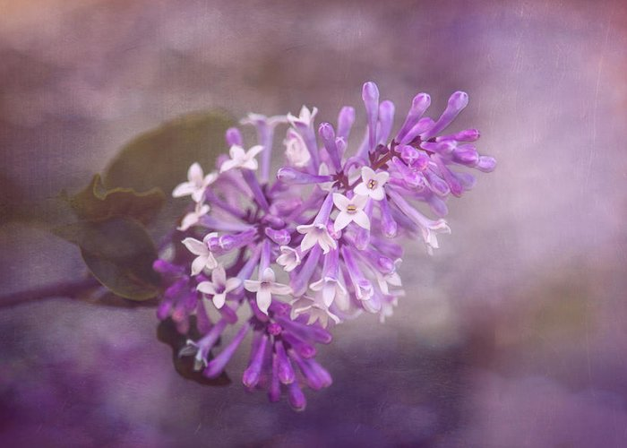 Lilac Petals Greeting Cards