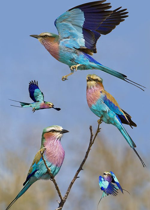 Bird Greeting Card featuring the photograph Lilac-breasted Roller Collage by Basie Van Zyl