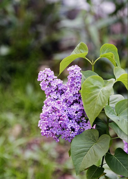 Beautiful Greeting Card featuring the photograph Lilac Flower on a blurred background by Adrian Bud
