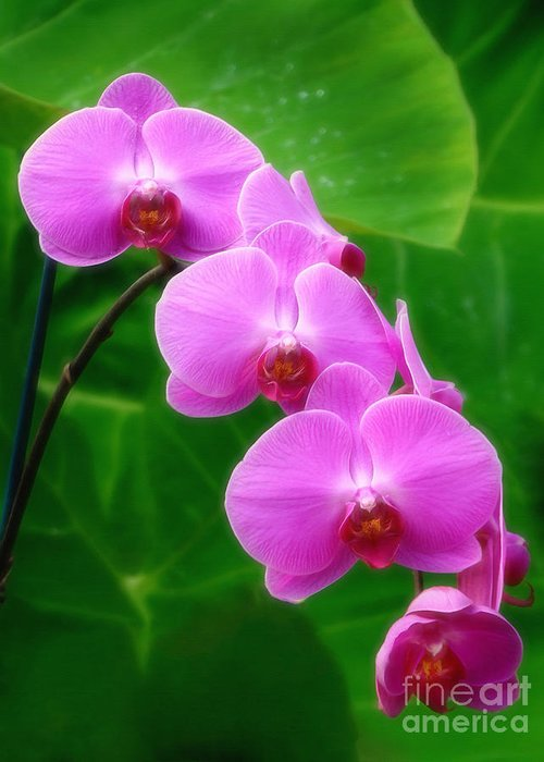 Orchid Greeting Card featuring the photograph Lilac Orchid Beauties by Sue Melvin