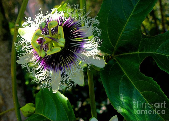 Passion Fruit Flower Greeting Card featuring the photograph Lilikoi by James Temple