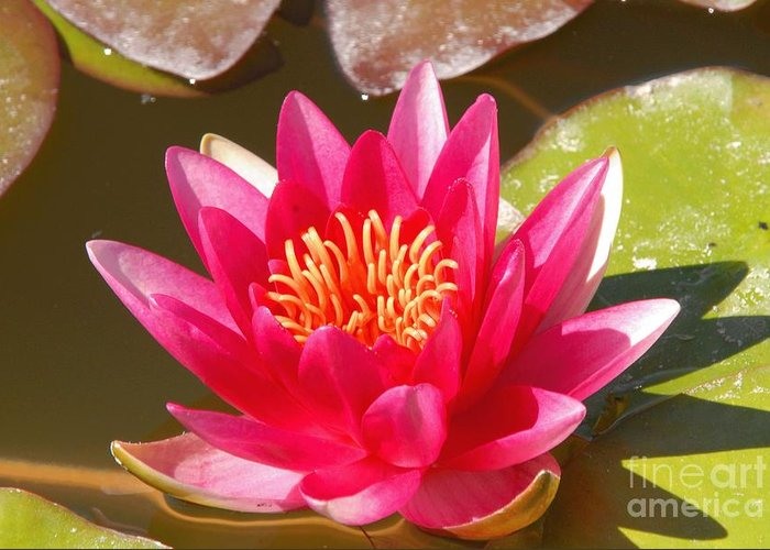 Flower Greeting Card featuring the photograph Lilly Pad With Bloom by Dennis Hammer