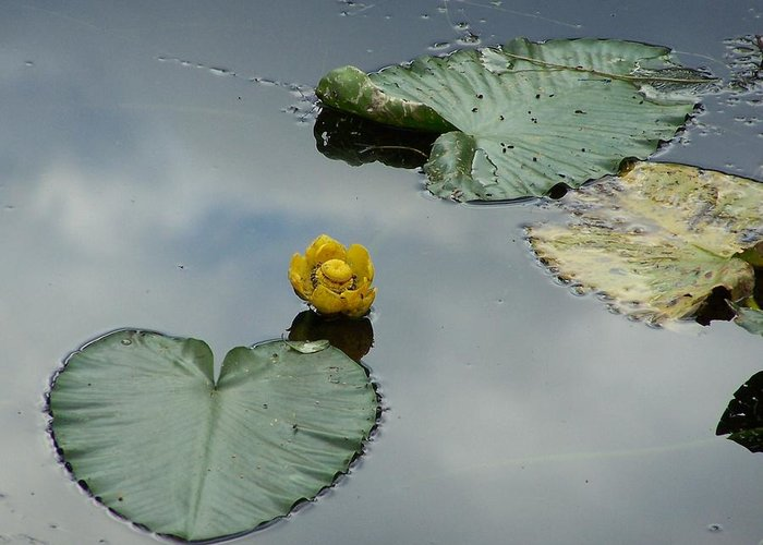 Lilly Pads Greeting Card featuring the photograph Lilly Pads by Gene Ritchhart