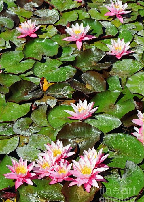 Flower Greeting Card featuring the photograph Lilly Pads In Bloom by Dennis Hammer