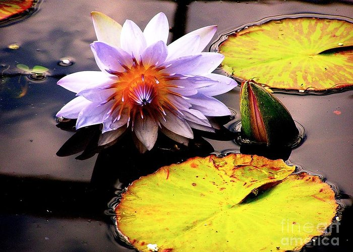 Lillypad Greeting Card featuring the photograph Lillypad In Bloom by Chad Kroll