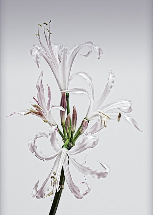 Lily Greeting Card featuring the photograph Lily 7 by Robert Ullmann