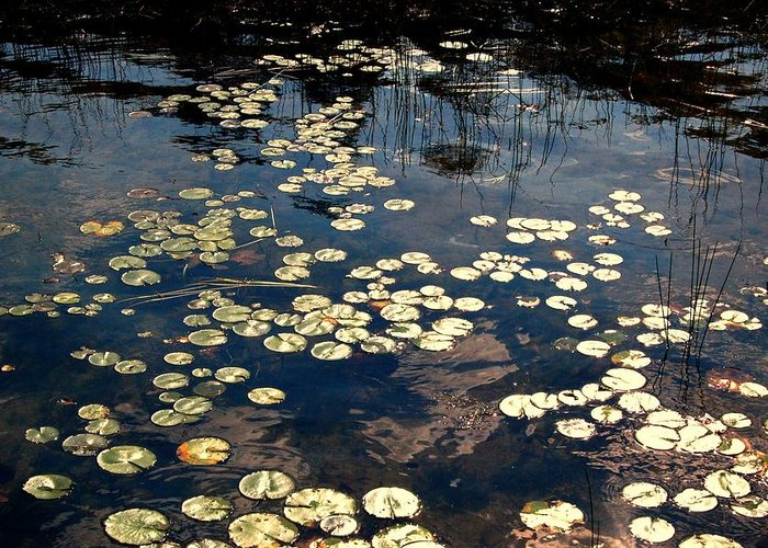 Landscape Greeting Card featuring the photograph Lily Pads In Winthrop Maine by DeLa Hayes Coward