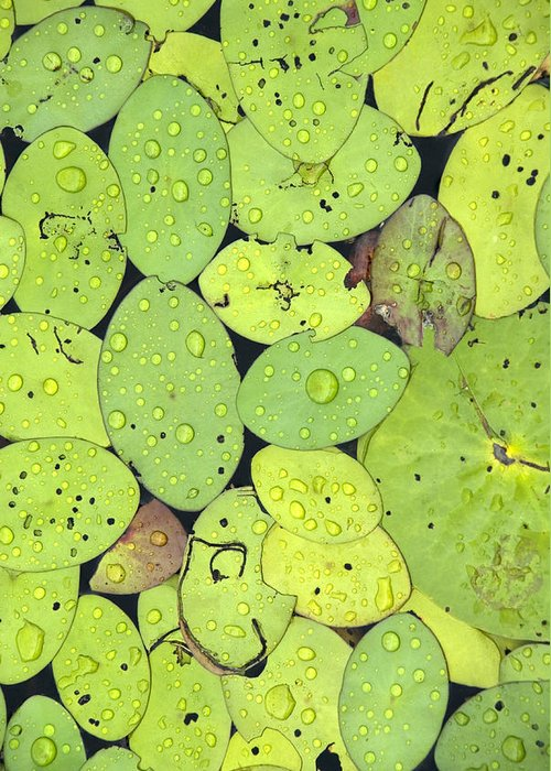 Lily Pads Greeting Card featuring the photograph Lily Pads by Jessica Wakefield