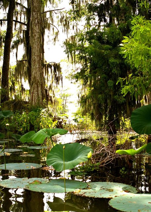Swamp Greeting Card featuring the photograph Lily Pads by Matthew Felder