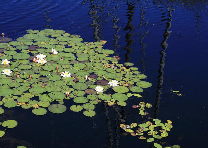 Lilypads Greeting Card featuring the photograph Lily Worlds One by Alan Rutherford