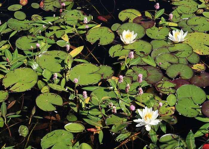 Lilypads Greeting Card featuring the photograph Lily Worlds Two by Alan Rutherford