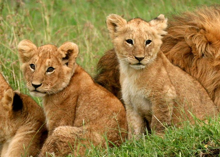 Lion Greeting Card featuring the photograph Lion Cubs - Too Cute by Nancy D Hall