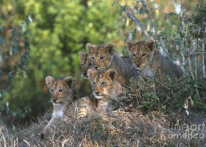 Lions Greeting Card featuring the photograph Lion Cubs Awaiting Mom by Sandra Bronstein
