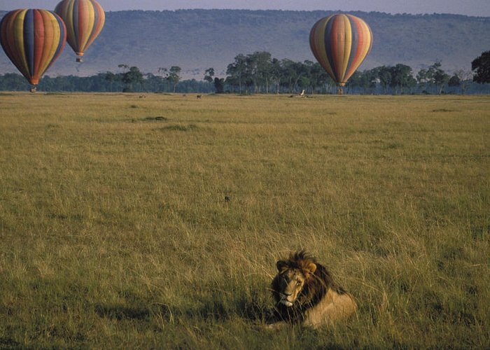 Lion Greeting Card featuring the photograph Lion Ignores Balloons by Carl Purcell