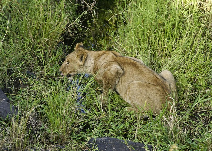 Africa Greeting Card featuring the photograph Lion In A Cool Glade by Michele Burgess