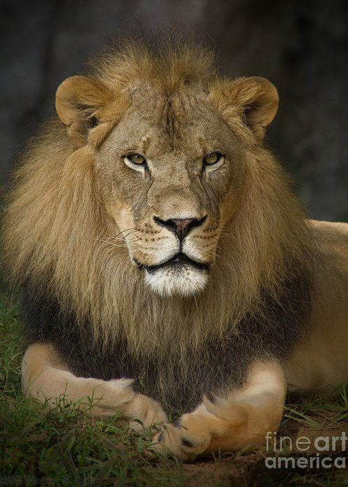 Lion Greeting Card featuring the photograph Lion In Repose by Warren Sarle
