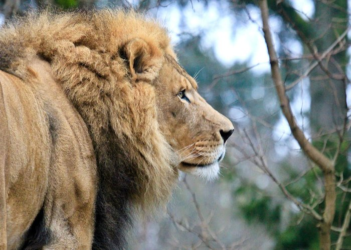 Lion Greeting Card featuring the photograph Lion In Thought by Athena Mckinzie
