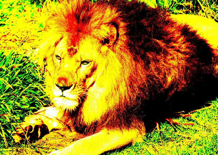 Lion Greeting Card featuring the photograph Lion Of Judah by Ken Volok