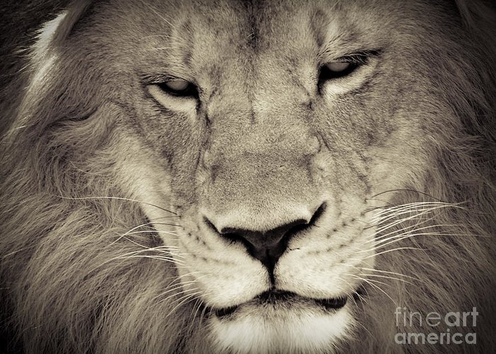Lion Greeting Card featuring the photograph Lion by Tonya Laker